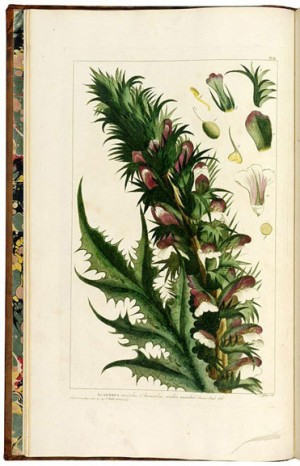"""Acanthus spinoza"", Georg Ehret print (Antiquariaat Junk)"